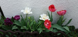 20150416-tulips